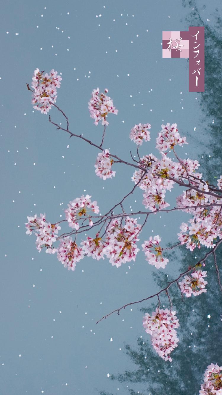iPhone 6, 6s, 7, 8用壁紙 | 夜桜(750x1334)